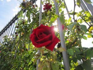 Le jardin des roses à Rome.