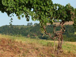 Vignes souvenirs Rome vins Frascati